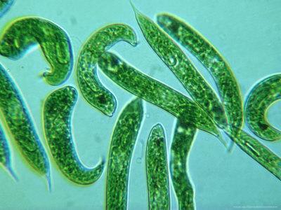 oxford-scientific-euglenophyta-freshwater-species