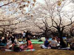 Disfrutando del hanami bajo los cerezos en flor en primavera.